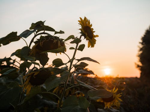 Photo of Sunflowers During Golden Hour