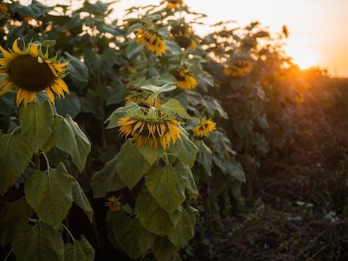 Ilmainen kuvapankkikuva tunnisteilla auringonkukat, kasvi, kasvikunta, kenttä