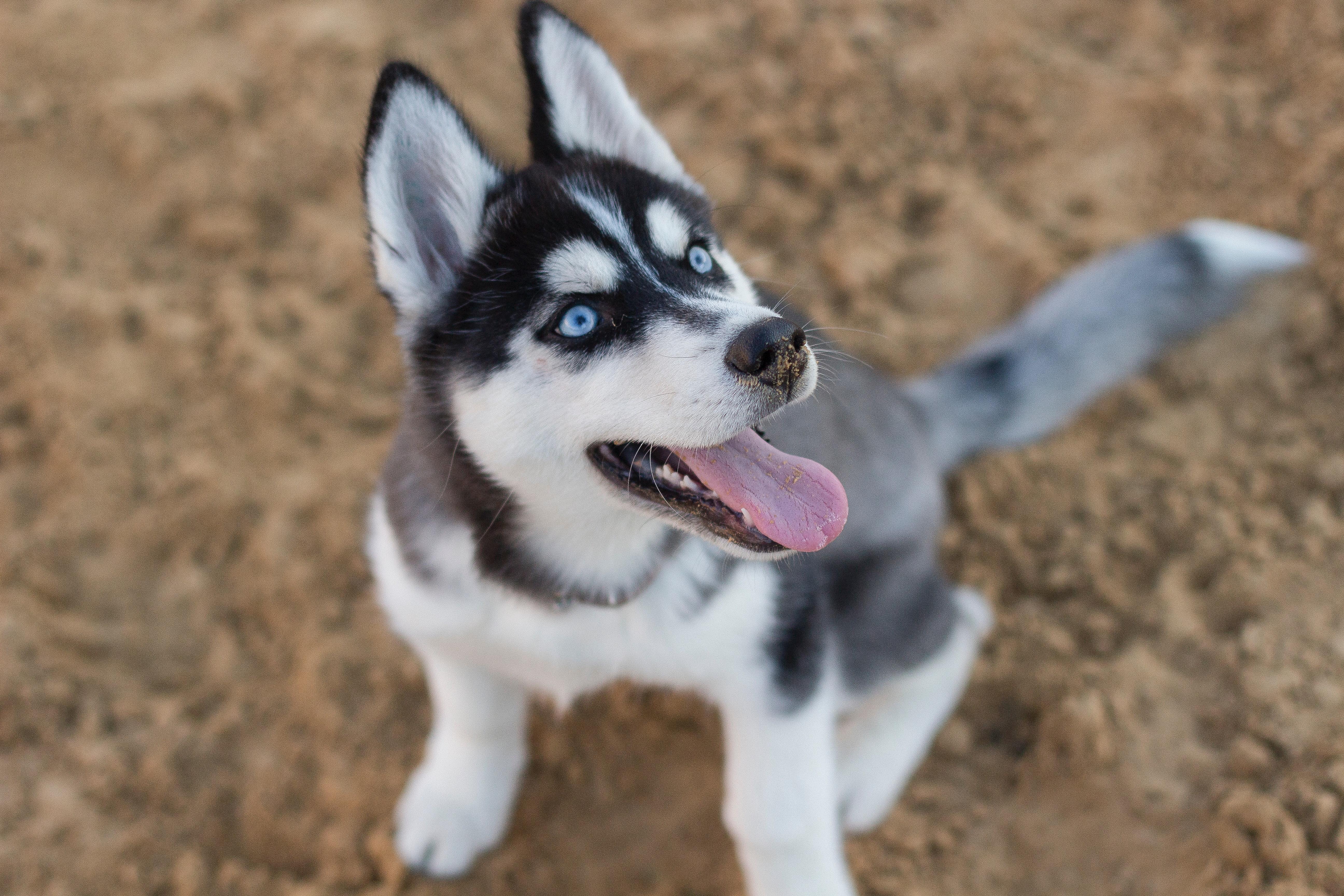 16++ Anak anjing husky terupdate