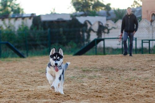 Foto stok gratis alam, anak anjing, anjing, anjing husky