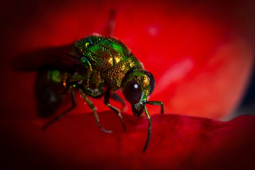 Gratis stockfoto met bij, insecten, insectenfotografie, macrofotografie