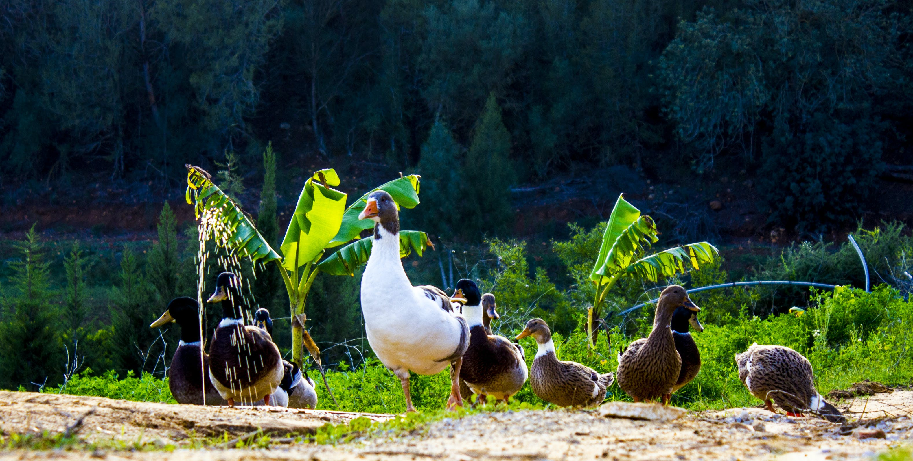 Free stock photo of animals, duck, landscape, nature