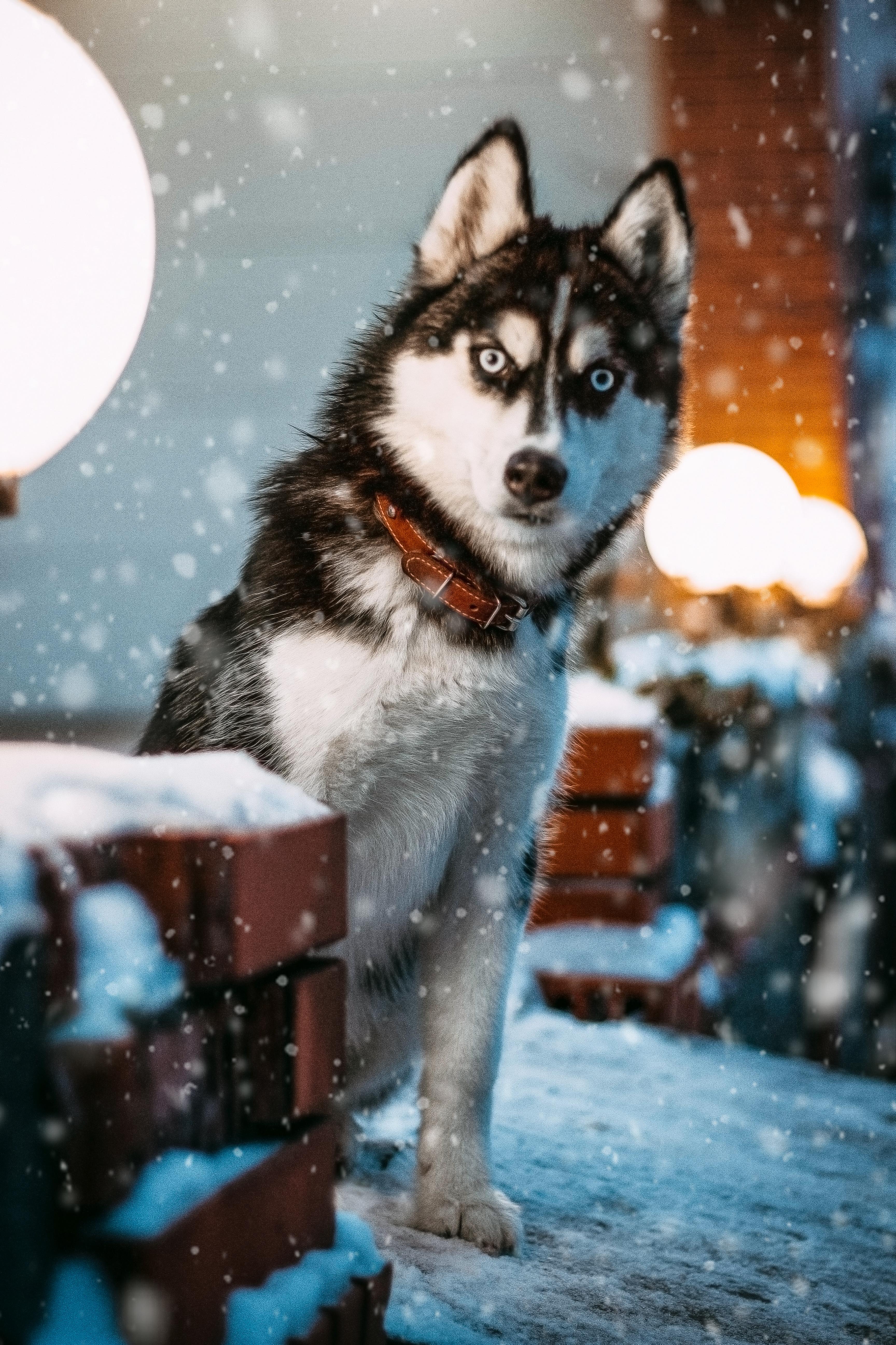 Photo Of Siberian Husky