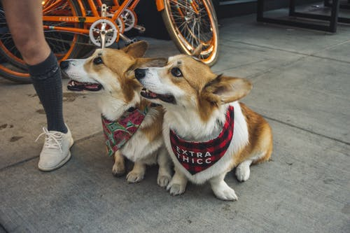 Two Corgi Dogs Sitting On Sidewalk