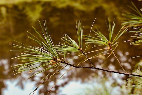 Fotobanka sbezplatnými fotkami na tému borovicová ihla, jazierko, prírodné pozadie, rybník