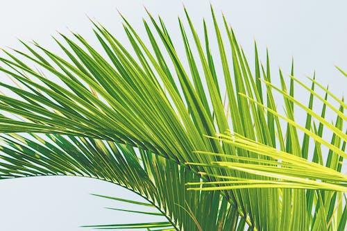 晴朗的天空, 棕櫚樹葉, 特寫, 綠色 的 免费素材照片