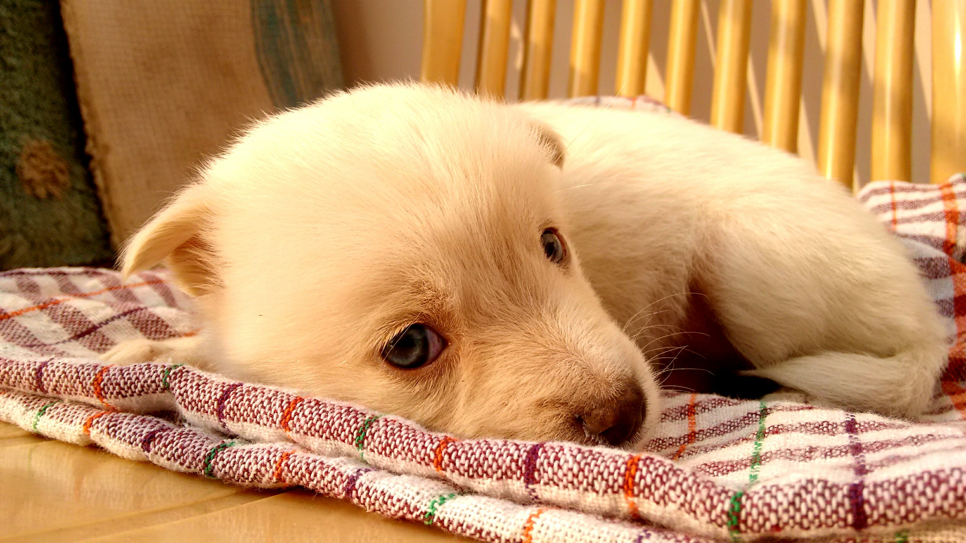 Puppy Lying on Plaid Textile