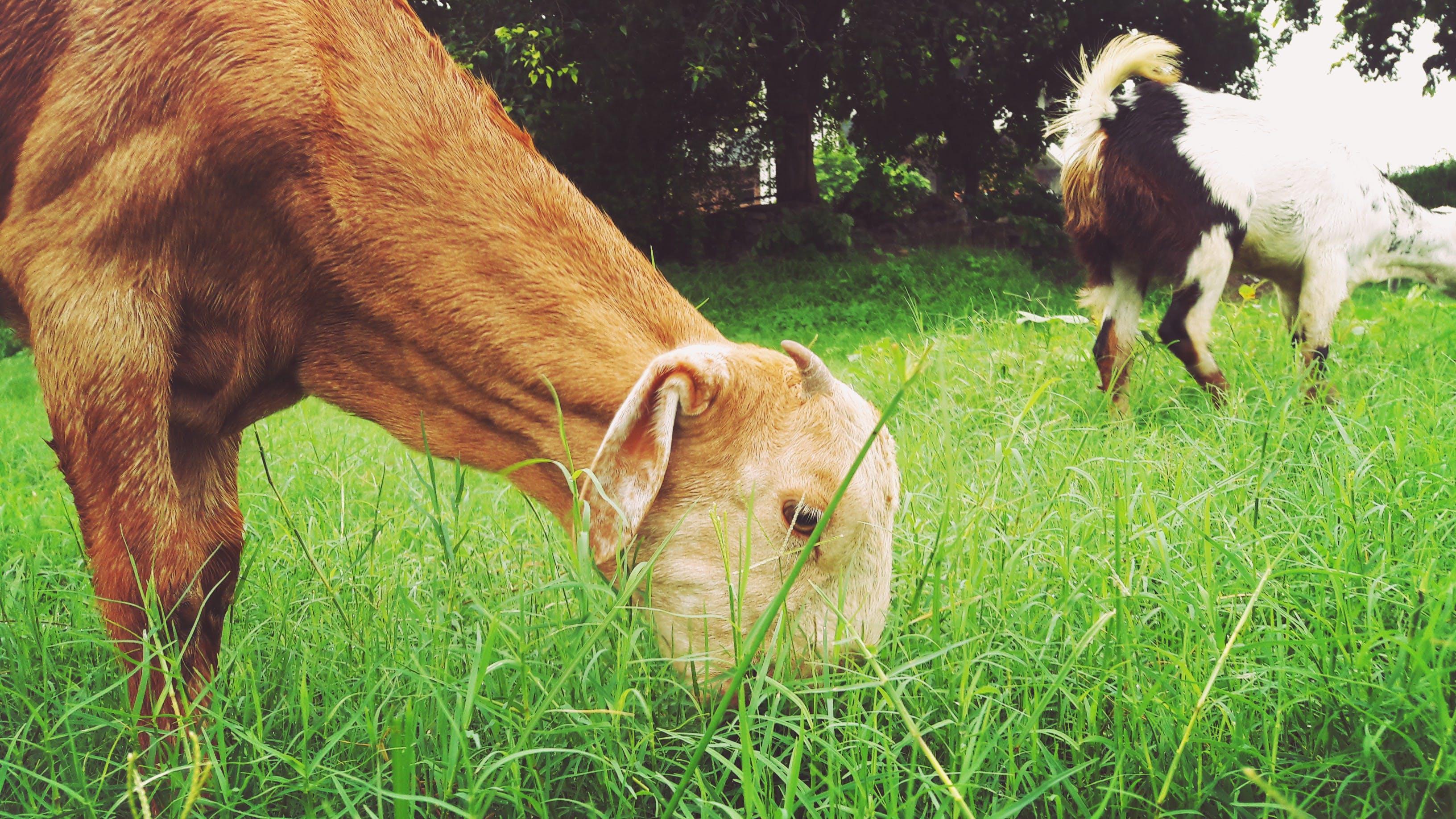 Brown Animal Eating Green Grass