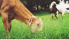 field, animal, pet