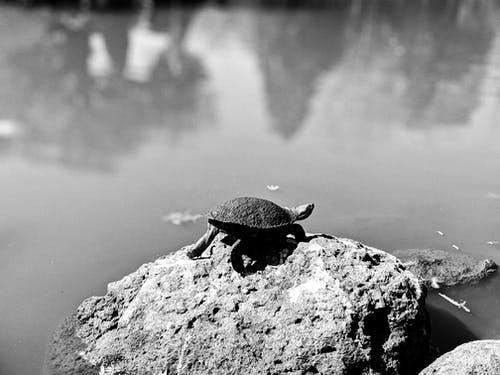 A Tortoise On A  Rock