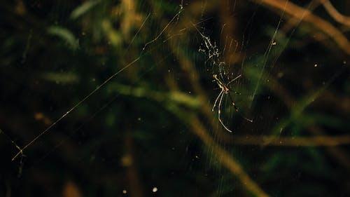 คลังภาพถ่ายฟรี ของ การถ่ายภาพธรรมชาติ, ธรรมชาติ, แมงมุม, ใยแมงมุม