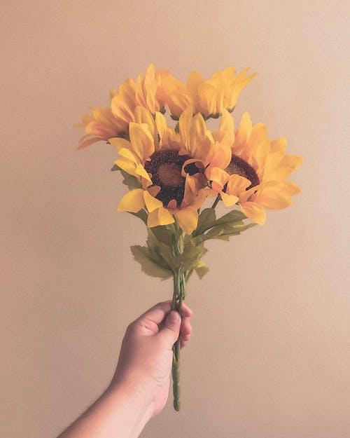 Foto d'estoc gratuïta de flor bonica, gira-sol