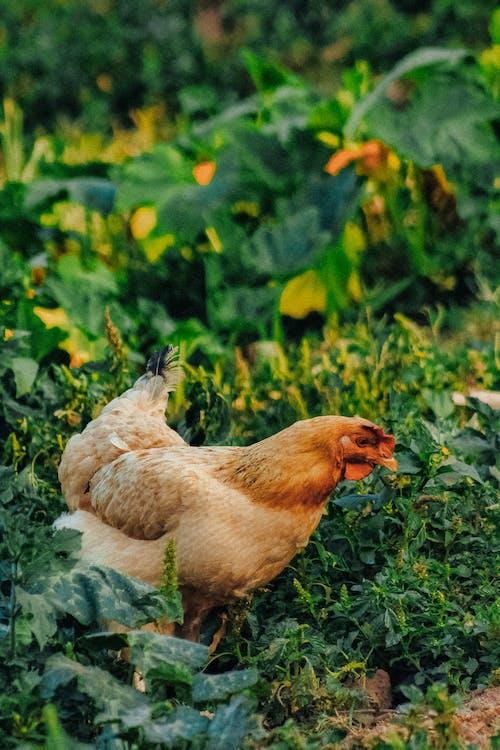 Бесплатное стоковое фото с глубина резкости, домашнее животное, домашний скот, домашняя птица