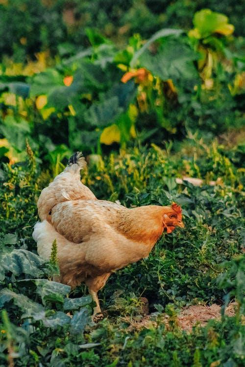 Бесплатное стоковое фото с глубина резкости, домашний скот, животное, курица