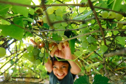 Smiling Toddler Picking Grapes