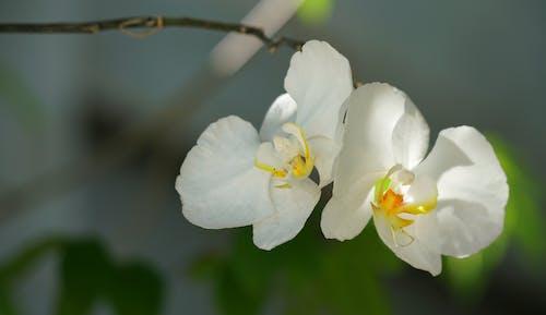 Ingyenes stockfotó dekoráció, fehér, finom, orchidea témában