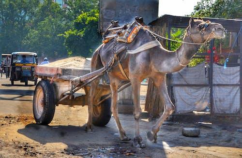 Ingyenes stockfotó bevásárlókocsi, dolgozó, India, teve témában