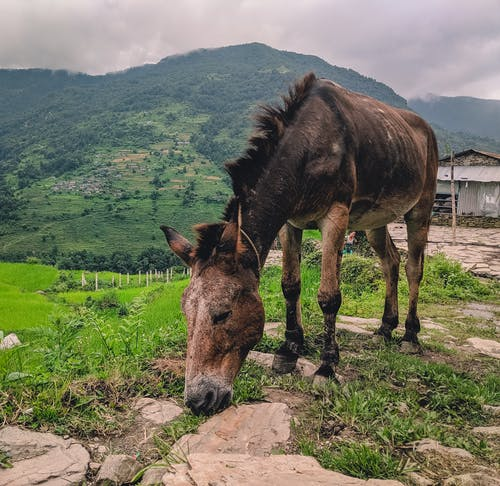 Free stock photo of animal, annapurna, brown, brown horse