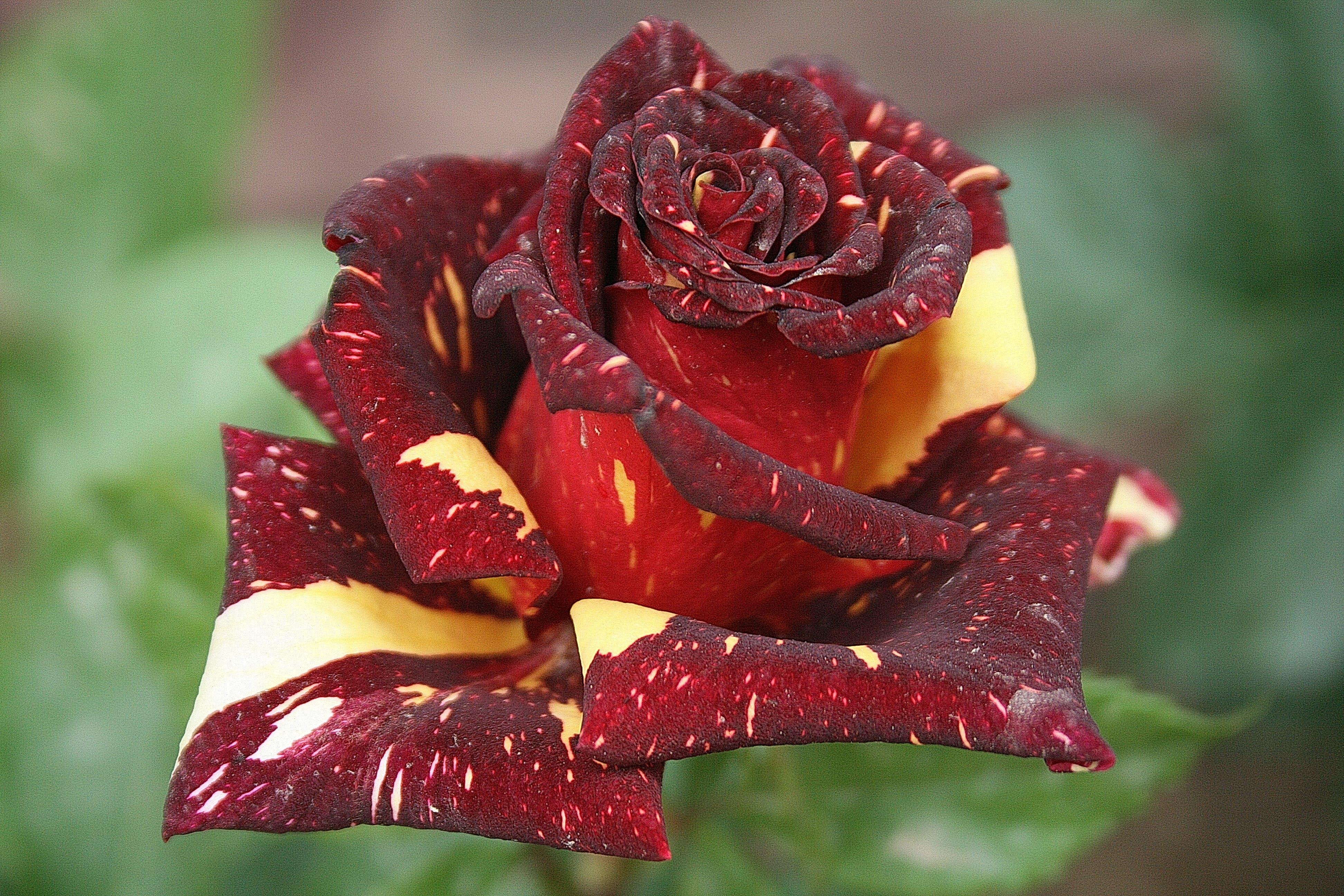Free stock photo of Beautiful roses