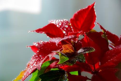 Gratis arkivbilde med blomst, grønn, juleblomst, natur