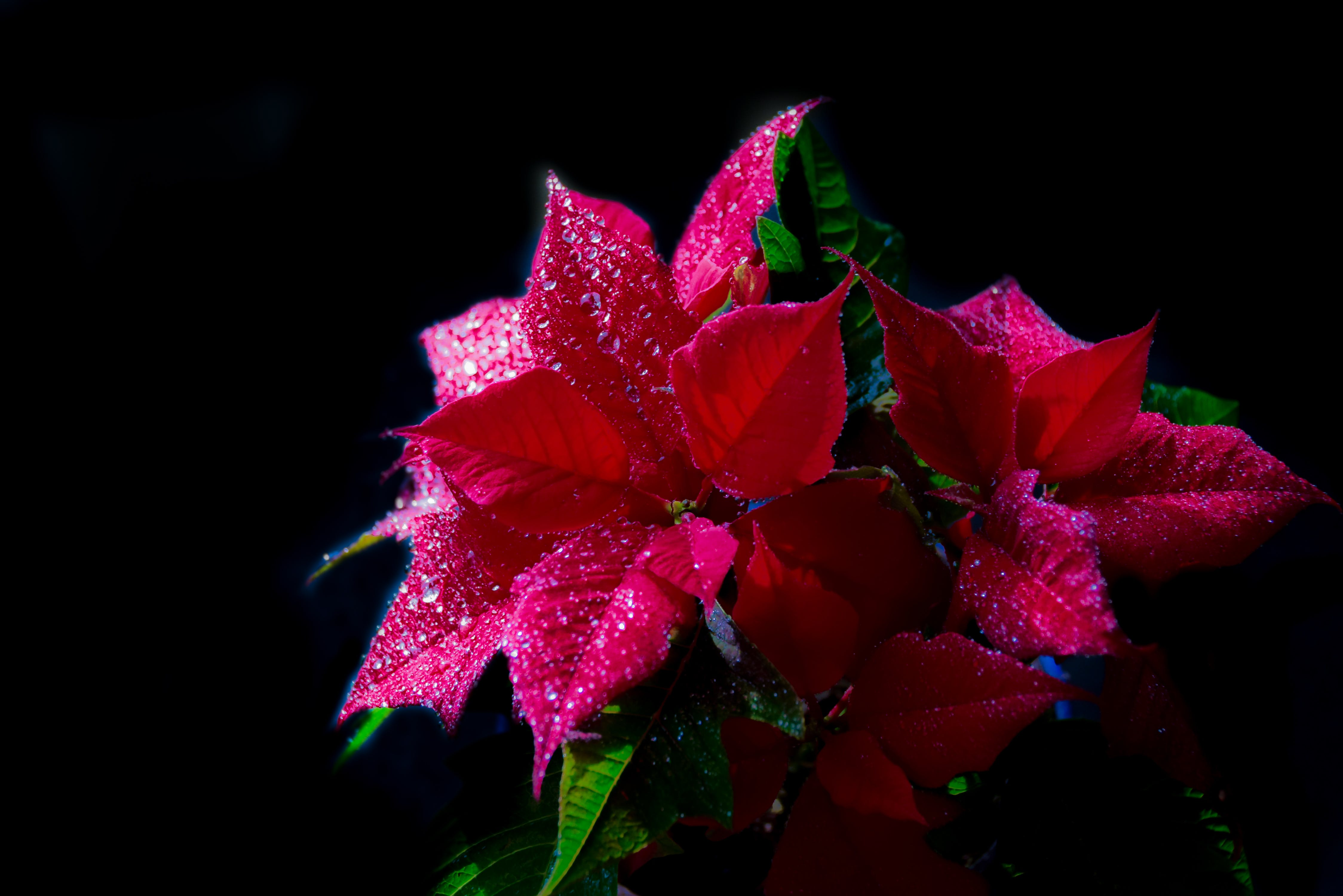 Free stock photo of christmas flower, flower, green, nature