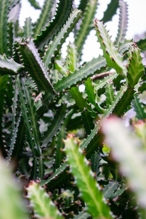 Photos gratuites de acéré, agave, botanique, centrales