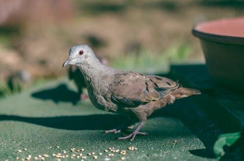 Gratis stockfoto met aarde, columbia, columbina ground-doves, dieren in het wild