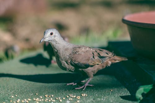Gratis arkivbilde med bakken, columbia, columbina ground-doves, due