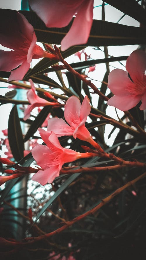 Free stock photo of beautiful, beautiful flowers, classic, fade