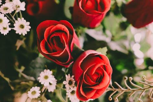 Fotobanka sbezplatnými fotkami na tému červené ruže, flóra, kvet ovocného stromu, kvety