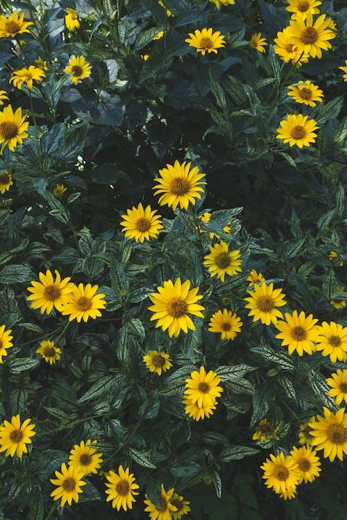 คลังภาพถ่ายฟรี ของ ดอกสีเหลือง, ดอกไม้, ดอกไม้สีเหลือง, ธรรมชาติ
