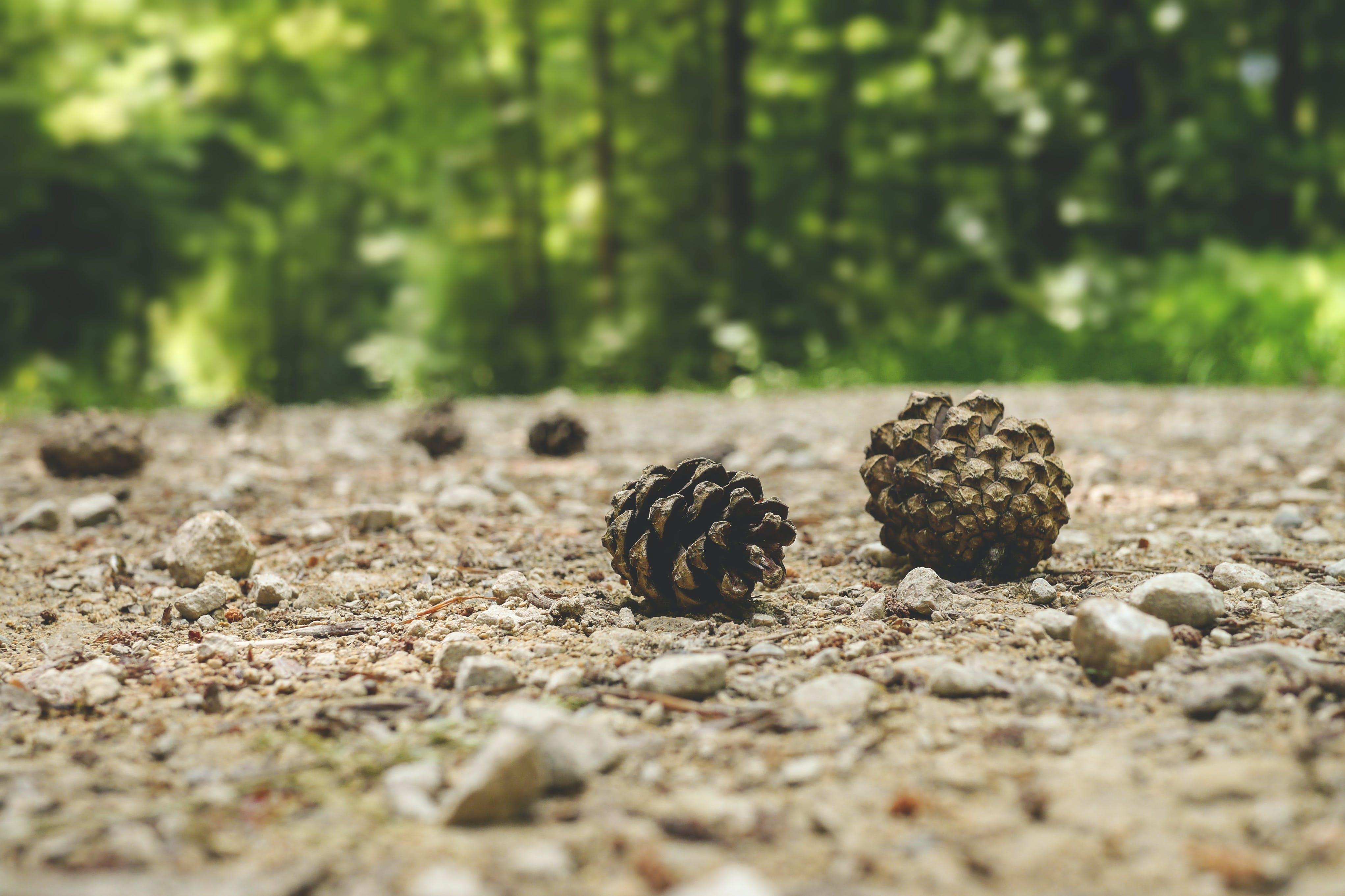depth of field, fir cone, forest