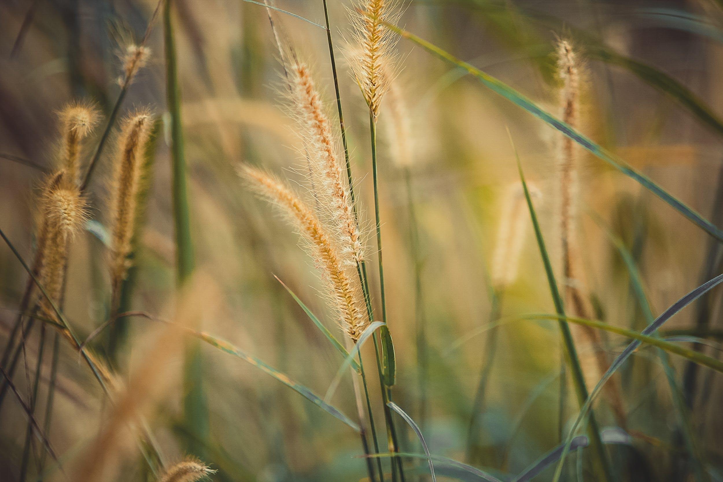 Close Up Photo of Wheat