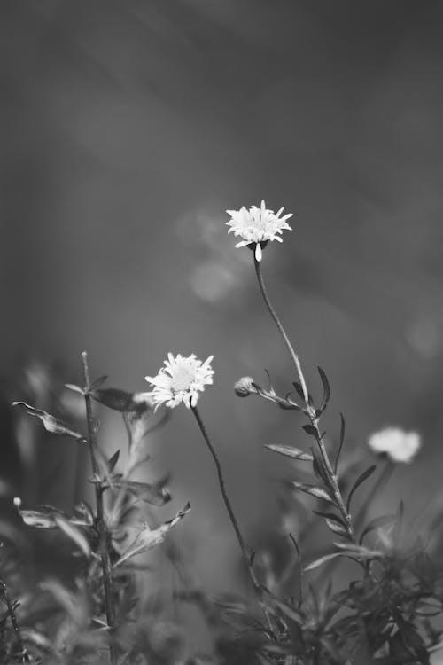 Ingyenes stockfotó apró vadvirág, apró virág, canon 600d, fekete-fehér fotózás témában