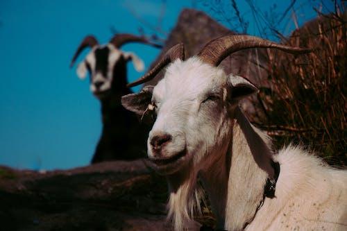 Foto d'estoc gratuïta de a l'aire lliure, animals, ariet, banyes