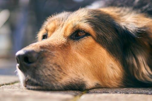 Foto profissional grátis de animal, animal de estimação, cabeça, cachorro