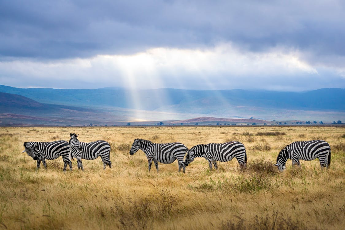 Five Zebra Grazing on Grass Field