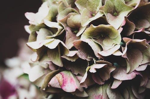 Ảnh lưu trữ miễn phí về chụp ảnh thiên nhiên, hoa, hoa đẹp, hortensia