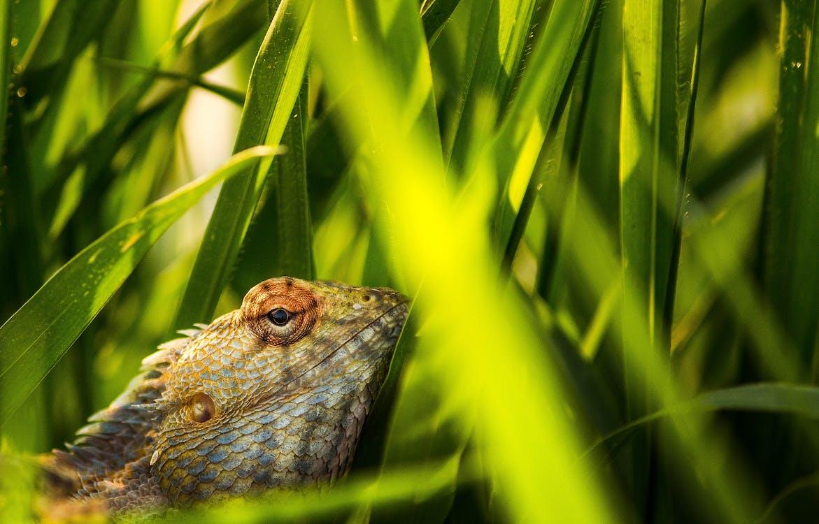 Brown Lizard on Green Grass
