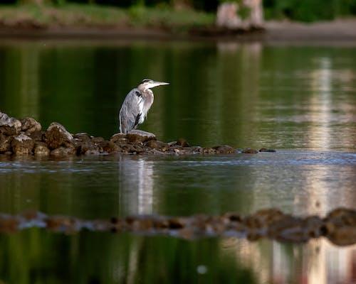balıkçıl, Su, yansıma içeren Ücretsiz stok fotoğraf