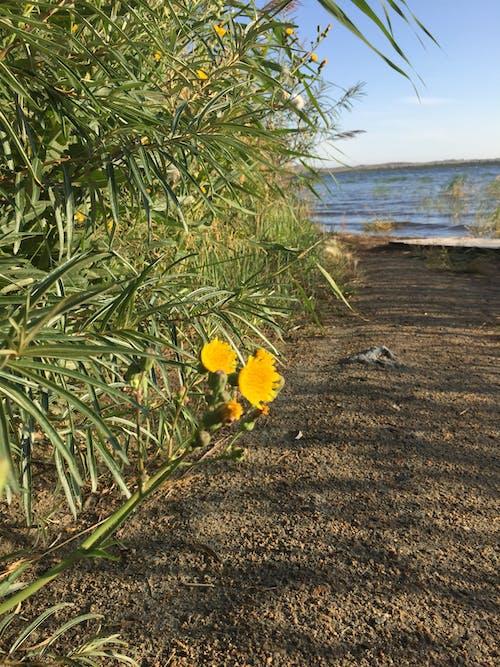 คลังภาพถ่ายฟรี ของ ดอกไม้สีเหลือง, ทราย, ทะเลสาป, ทางเดิน