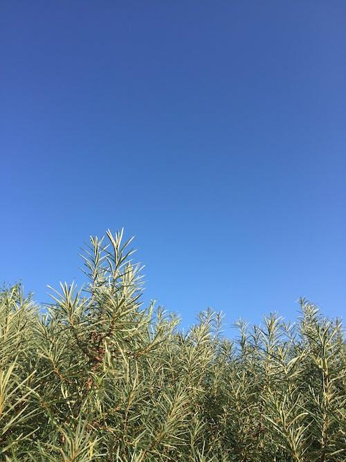 คลังภาพถ่ายฟรี ของ ท้องฟ้าสีคราม, ทะเล buckthorn, พุ่มไม้