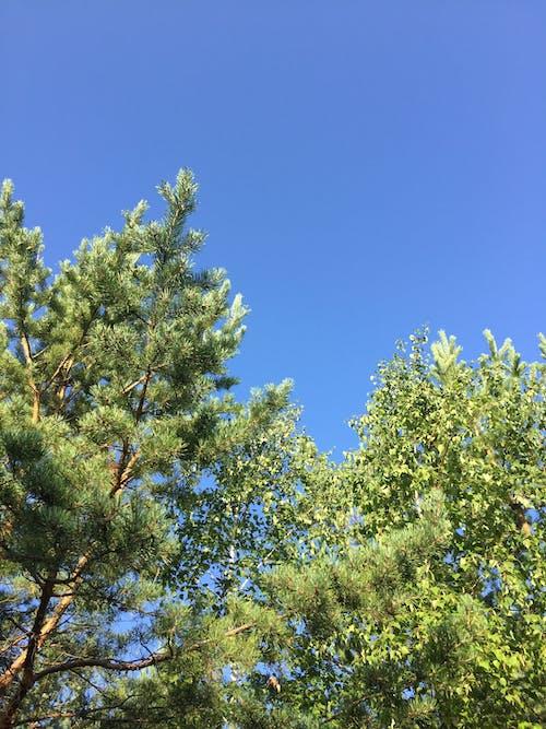 คลังภาพถ่ายฟรี ของ ต้นสน, ท้องฟ้า, ท้องฟ้าสีคราม