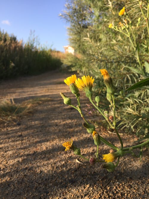 คลังภาพถ่ายฟรี ของ ดอกไม้สีเหลือง, ทราย, ท้องฟ้าสีคราม, ทางเดิน