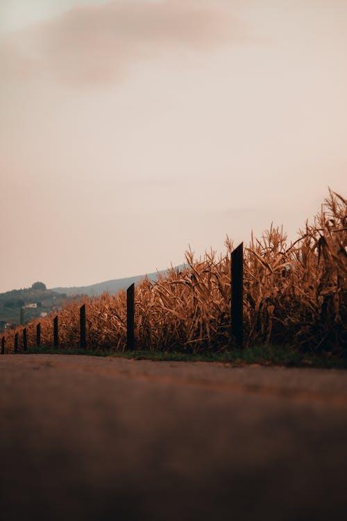 Imagine de stoc gratuită din august, fermă, grâu, ora de aur