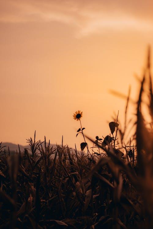 Imagine de stoc gratuită din apus, film de film, floarea-soarelui, grâu