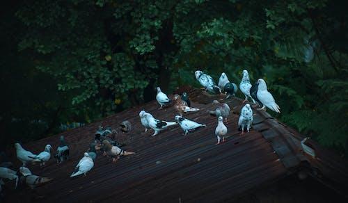 Бесплатное стоковое фото с kobutor, бангладеша, голуби, голубь