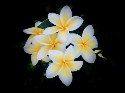 Fotobanka sbezplatnými fotkami na tému #garden, #kvetina, #nature, #plumeria