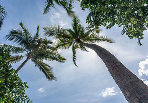 Low-angle Photography of Green-leafed Coconut Trees Under White Sky