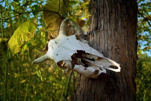 Free stock photo of animal skull